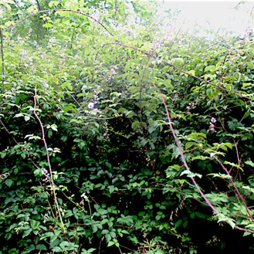 How to get rid of Brambles in the Garden