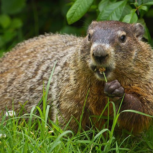 Will Mothballs Keep Groundhogs Away