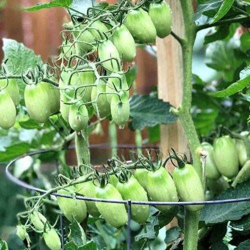 How to Prune Determinate Tomatoes: A 3-Step Guide