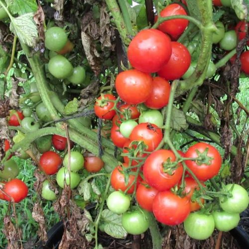A 6-Step Guide On How to Prune Indeterminate Tomatoes