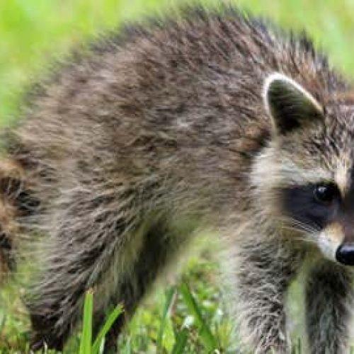 Will raccoons eat my vegetable garden?