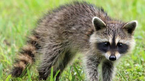 raccoons eat my vegetable garden